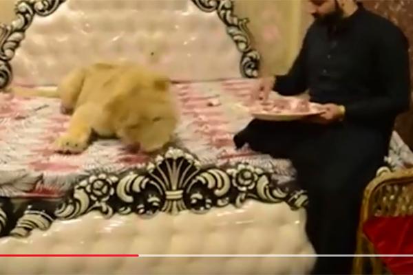 小伙在家散养狮子心真大,细数那些奇葩的宠物