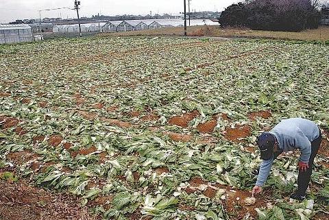 日本菜农大白菜遭窃