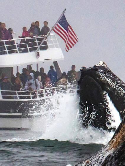 巨鲸跃出海面捕食