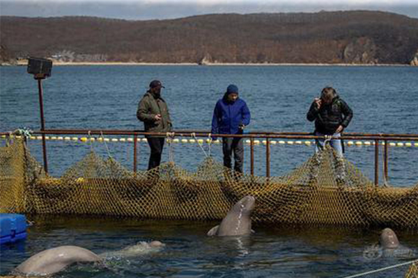 """俄罗斯现鲸鱼监狱,白鲸和虎鲸被非法""""圈养"""""""