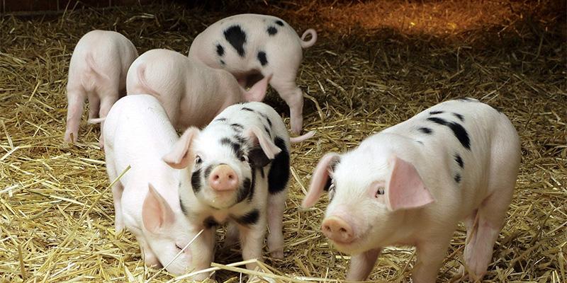 中国猪价南北分化