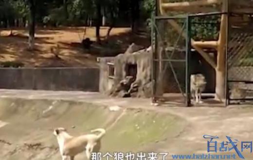 动物园以狗充狼