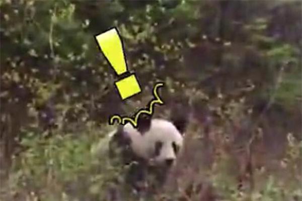 上班途中偶遇大熊猫,跟快递员打招呼吓坏本人了