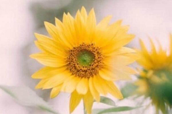 深秋的小清新向日葵