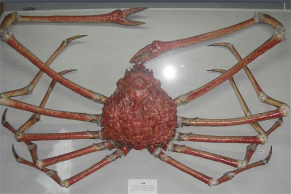 世界上最大的螃蟹