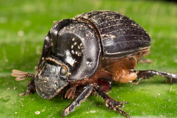 西方世界的圣甲虫到底是什么?法老为什么崇拜圣甲虫
