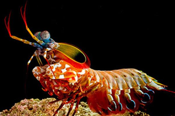 攻击力爆表的雀尾螳螂虾,可击碎防