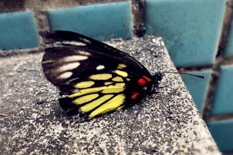吴克群遇蝴蝶不肯离去