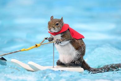 美国滑水松鼠将退休,这是它最后一场的演出