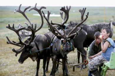 法院下令扑杀驯鹿,称为了保护牧场土地可杀生