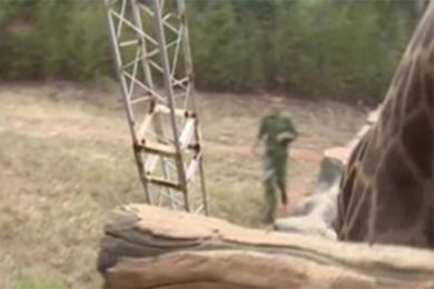投人民币喂长颈鹿,工作人员呼吁文明观园