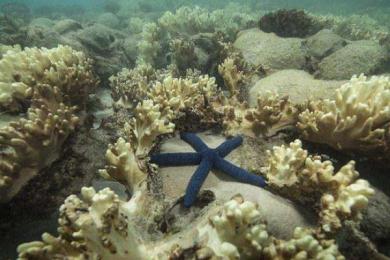 日本研究发现导致白珊瑚死完的物种或与全球变暖有关