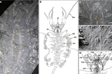 古生物学家首次发现古生物大脑化石
