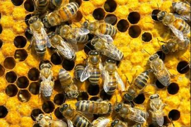 研究人员发现蜜蜂的活动与光线强度有关