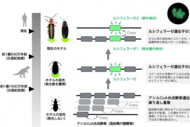 日本科学家研究发现萤火虫发光是因为基因复制错误而导致的