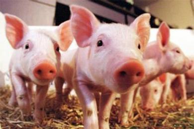 养猪靠政府补贴盈利,罗牛山的所作所为你了解吗?