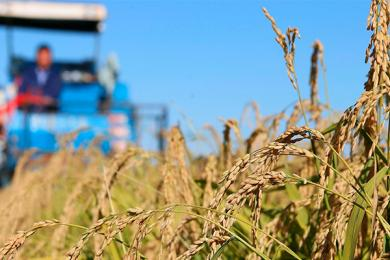 海水稻是伪命题,专家:搞科学研究,来不得半点夸大
