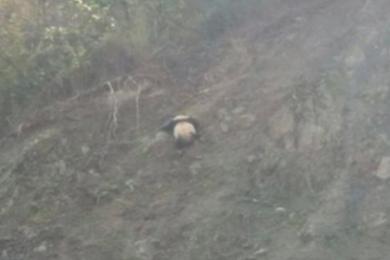 自驾偶遇野生大熊猫,经判断是一只成年熊猫